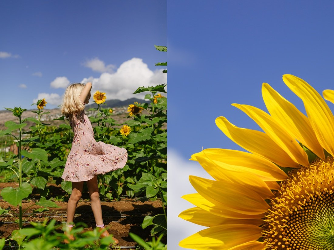 A sunflower field planted for hawaii farm weddings at keiki and plow