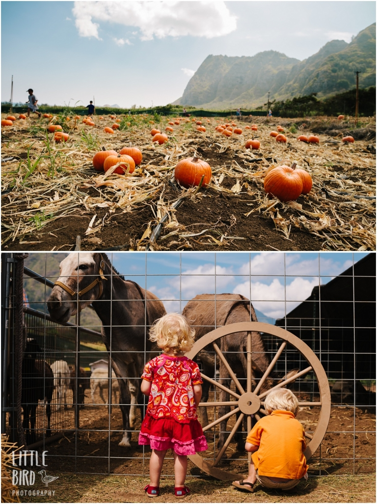 waimanalo country farms pumpkin patch
