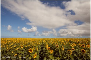 northshore sunflowers
